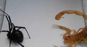 Кто победит: паук или скорпион? А за кого болеете вы?