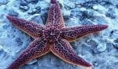 Морские звезды передвигаются  как монстры в фильмах ужасов! (ВИДЕО)