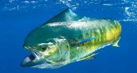 Большая рыба шокировала рыбаков из Коста-Рики. У неё в желудке были ...