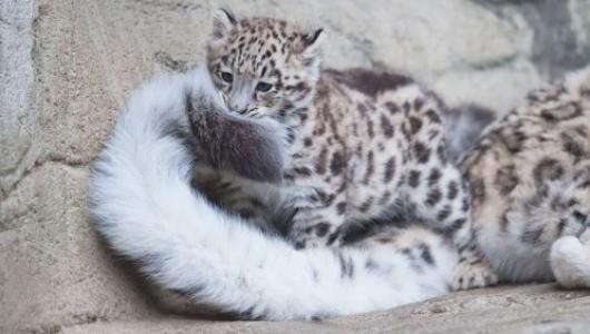 Очень необычное животное с удивительным хвостом (ФОТО)